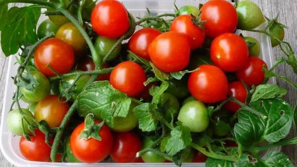 Характеристика томата Вишня красная: отзывы и фото