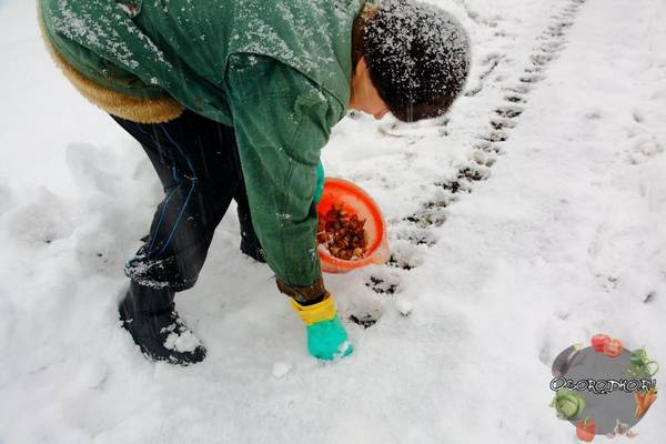Посадка чеснока под зиму  советы и секреты