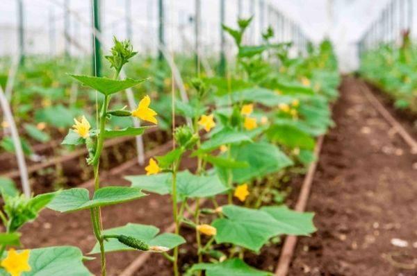 Про выращивание и уход за огурцами в теплице из поликарбоната