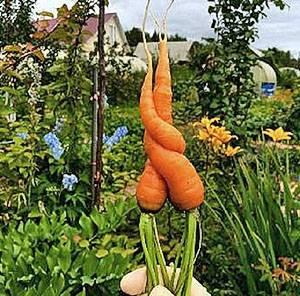 Прореживание и прополка моркови
