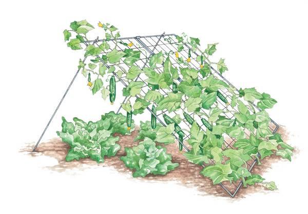 Выращиваем огурцы правильно