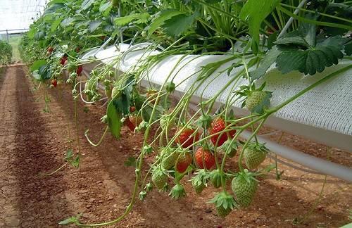 Выращивание клубники на гидропонике или Урожай круглый год
