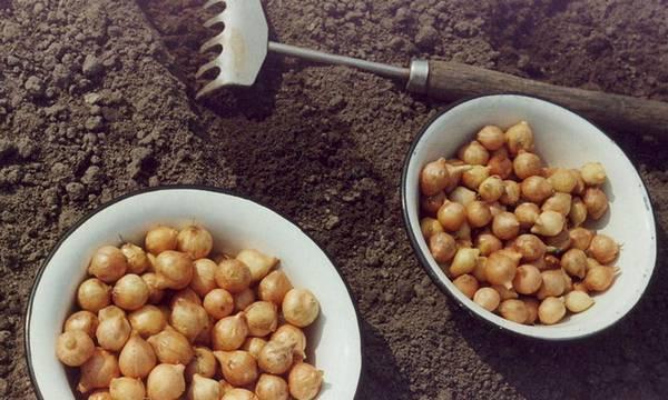 Выращивание лука-севка в теплице