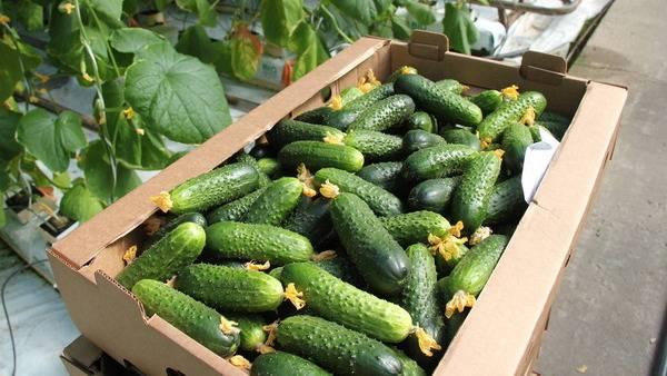 Выращивание огурцов на рассаду: подготовка семян, технологии посадки